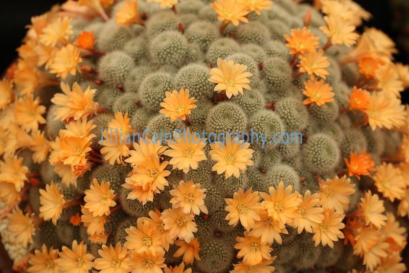 Rebutia 'Apricot ice' cacti