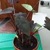 Alocasia, Colocasia esculenta 'Black Magic'
