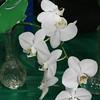 orchid,  phalaenopsis, cut flower