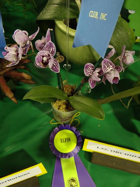 Miniature phalaenopsis miniature orchid, Elfin award winner