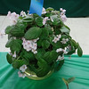African Violet Trailer, Rob's Sticky Wicket, Blue Ribbon Winner