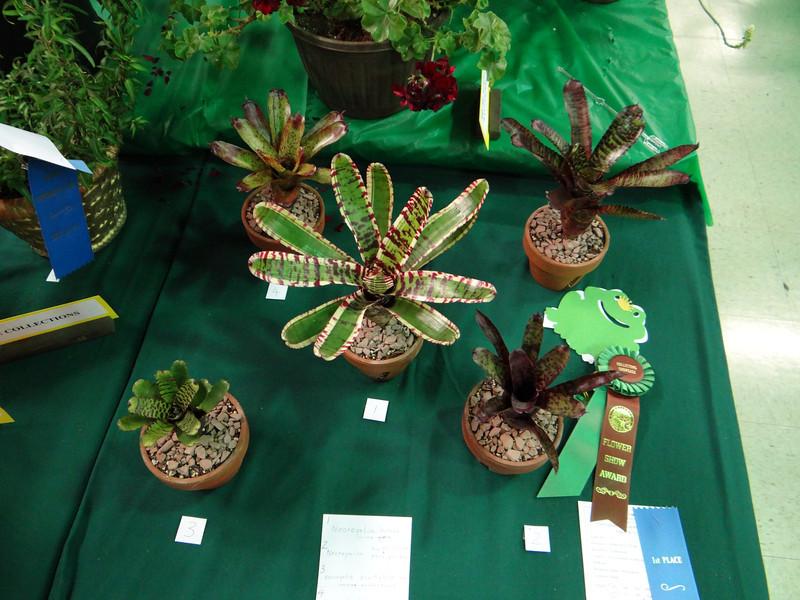 Collection, five varieties in one Genus:  Neoregelia