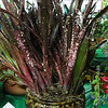 Bromeliad, Billbergia  Hallelujah Decorative Container Category