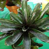 Bromeliad, neoregelia,  'Mo Pepper Please'