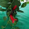 Aeschynanthus radicans, Gesneriad