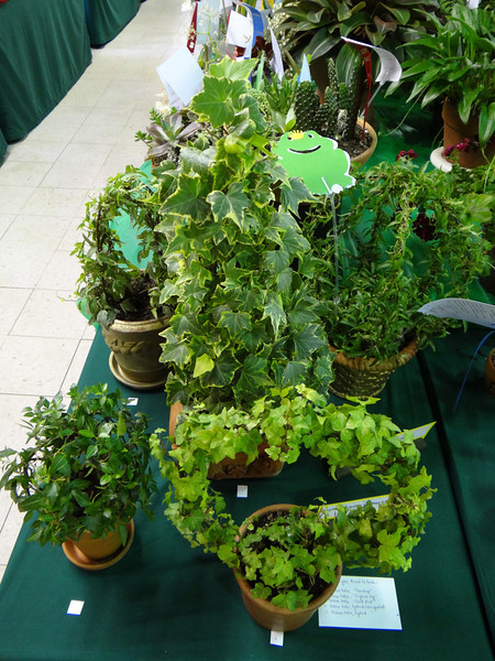 Collection, English ivy, five varieties in one genus, Hedera Helix