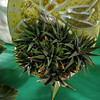 Hawthonia