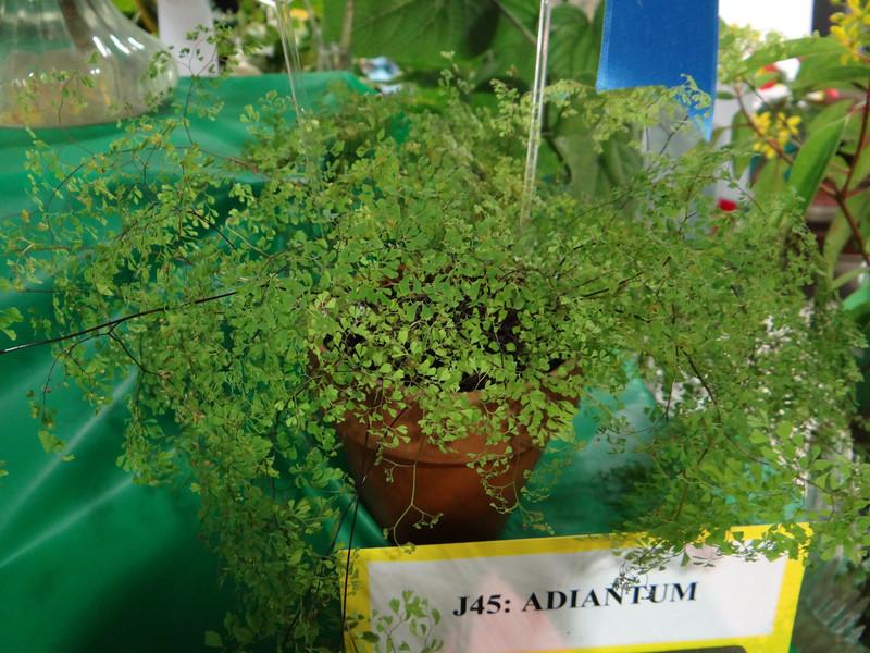 maidenhair fern, Adiantam Raodianum Microphyllum