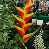 "Heliconia stricta ""Sharonii"""