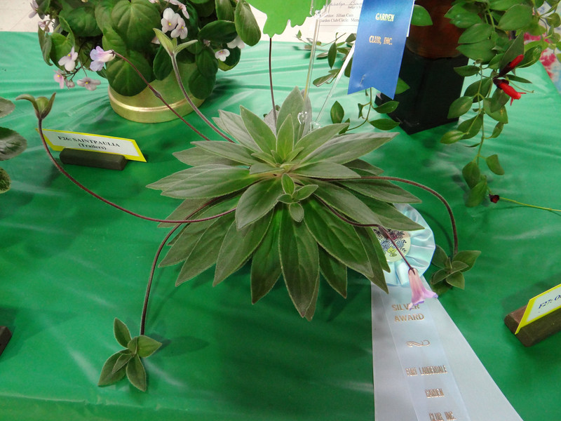 Primulina Primulina; Gesneriad, USB RG 98-083 (previously known as Chirita), Gesneriad. Won the Marie Lamb Runner up silver award for second place winner to Award of Horticulture Excellence.  Grown by Jillian Cain