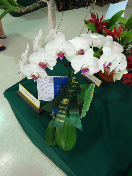 Phalaenopsis Orchid, Flower Show Winner, moth orchid