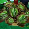 kalanchoe thrysiflora, Flap jack plants