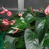 Anthurium, pink