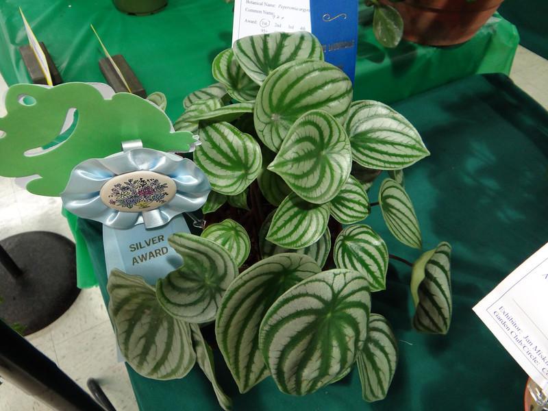 Peperomia argyreia, silver award winner