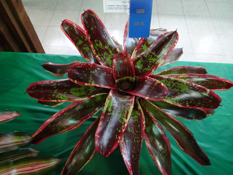 Bromeliad 'Milagro'