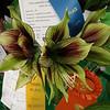 Amaryllis hybrid, winner