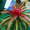 Bromeliad neoregelia 'Ultima'