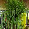 Ribbon Fern, Pterophyta; Ophioglossum pendulum