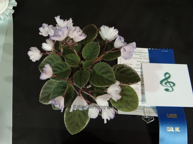 Rob's Pewter Bells, mini African violet, Gesneriad