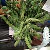 Monadenium lugardae, cactus