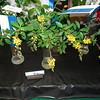 yellow Thryallis bloom
