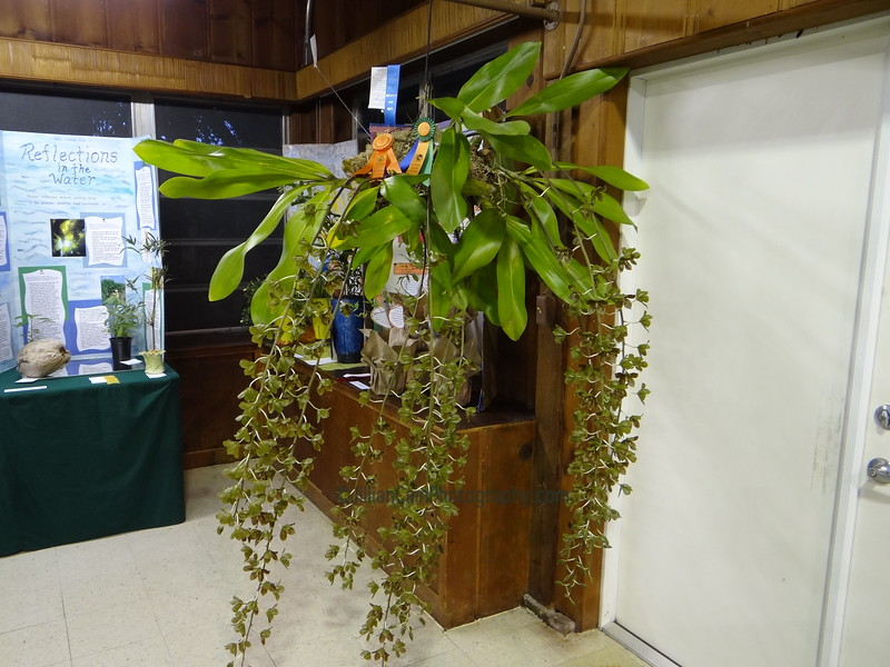 Grammatophyllum orchid