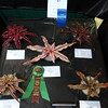 Cryptanthus collection, 5 different cryptanthus, bromeliad