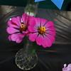 Zinnia, cut flowers