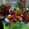 Crotons, Cut Specimens