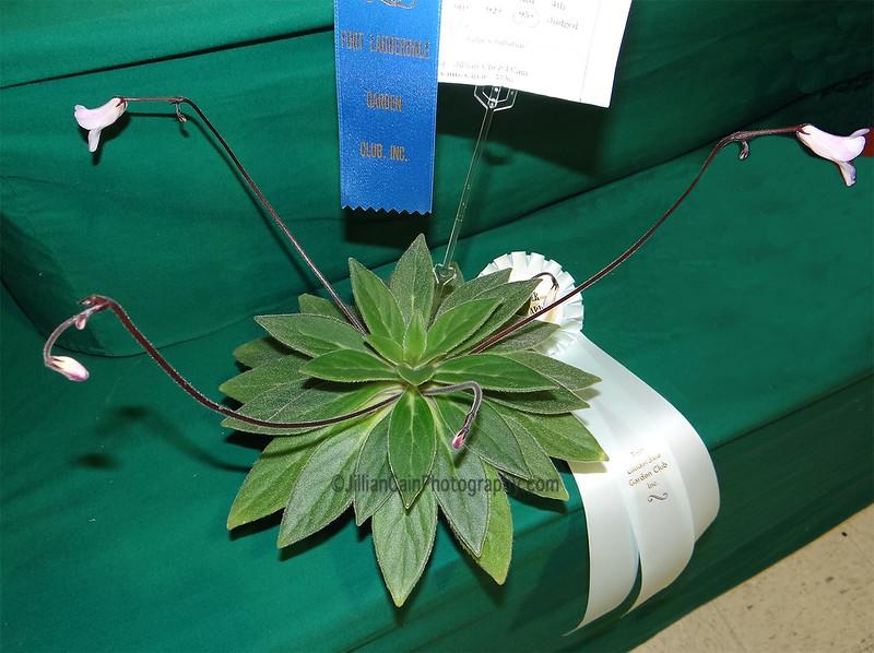 Primulina USBRG 98-083, Gesneriad<br /> Silver award winner
