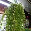 Dischidia ruscifolia, Million Hearts