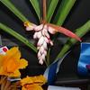 Shell ginger<br /> Alpina Zerumbert