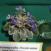 Saintpaulia, Petite Jewel, miniature African violet<br /> Grower's Choice Award winner, Generiad