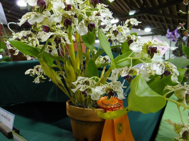 Award winning Dendrobium orchid atroviolaceum