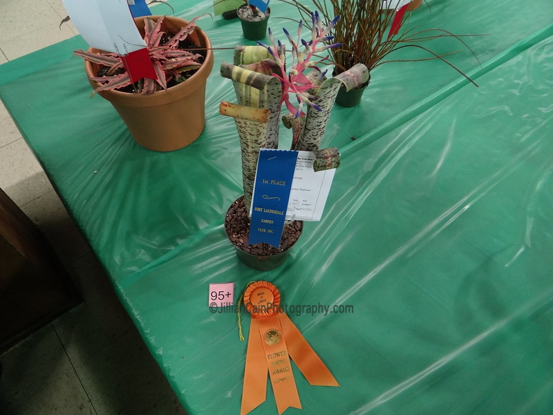 """Quesnelia marmorata, """"Tim Plowman""""<br /> Winning Bromeliad"""
