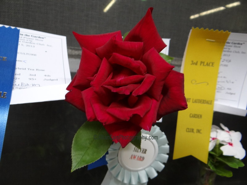 Hybrid Tea Rose<br /> Silver award winner