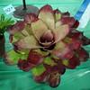 Bromeliad, Neoregelia