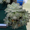 "Sempervivun ""Viridian""<br /> Hens & 'Chicks"