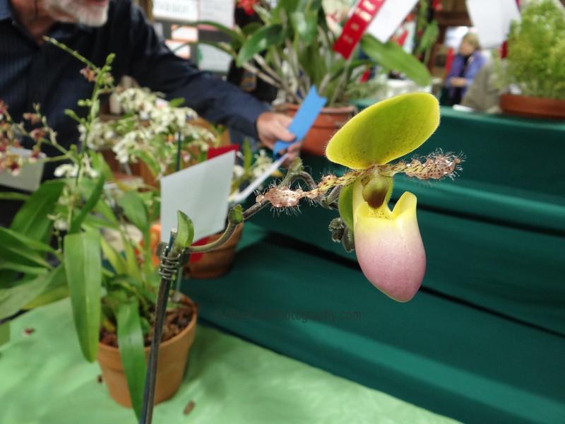 Paphiopedilum in bloom, orchid