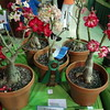 Winning Collection, Desert Roses