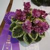 Apache Primrose<br /> African violet