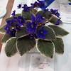 Funambule<br /> African violet
