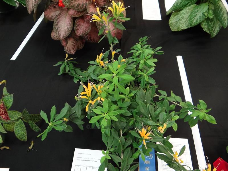 """Aeschynanthus humilis """"Topaz"""""""