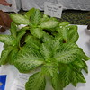 "Thad's ""Gold Fever""<br /> Episcia"