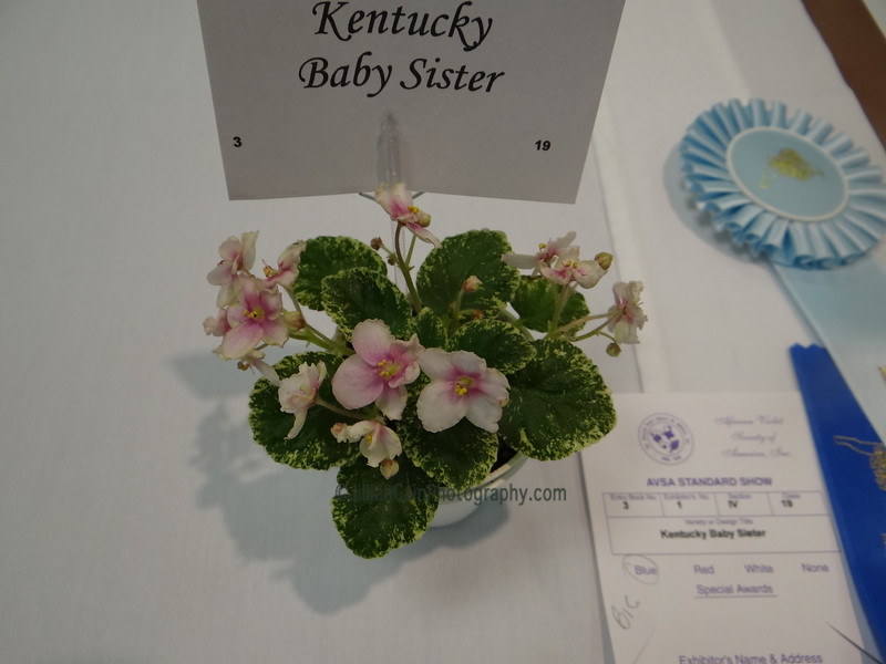 Kentucky Baby Sister<br /> African violet