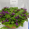 Foster Trail<br /> African violet