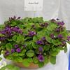 Foster Trail<br /> African violet