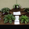 Primulina collection<br /> gesneriad