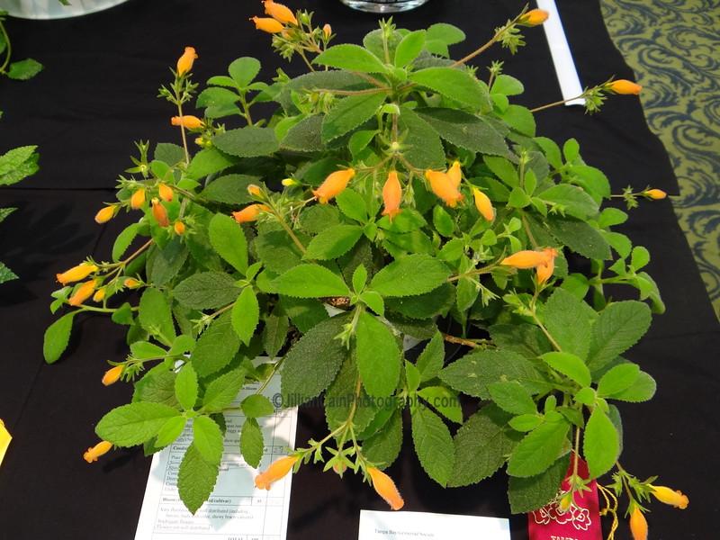 Gesneria rupincola