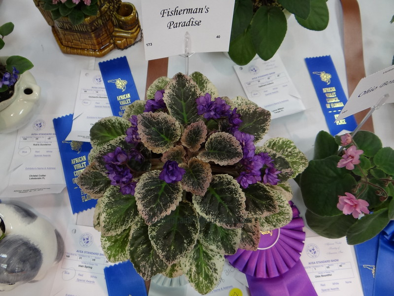Fisherman's Paradise<br /> African violet
